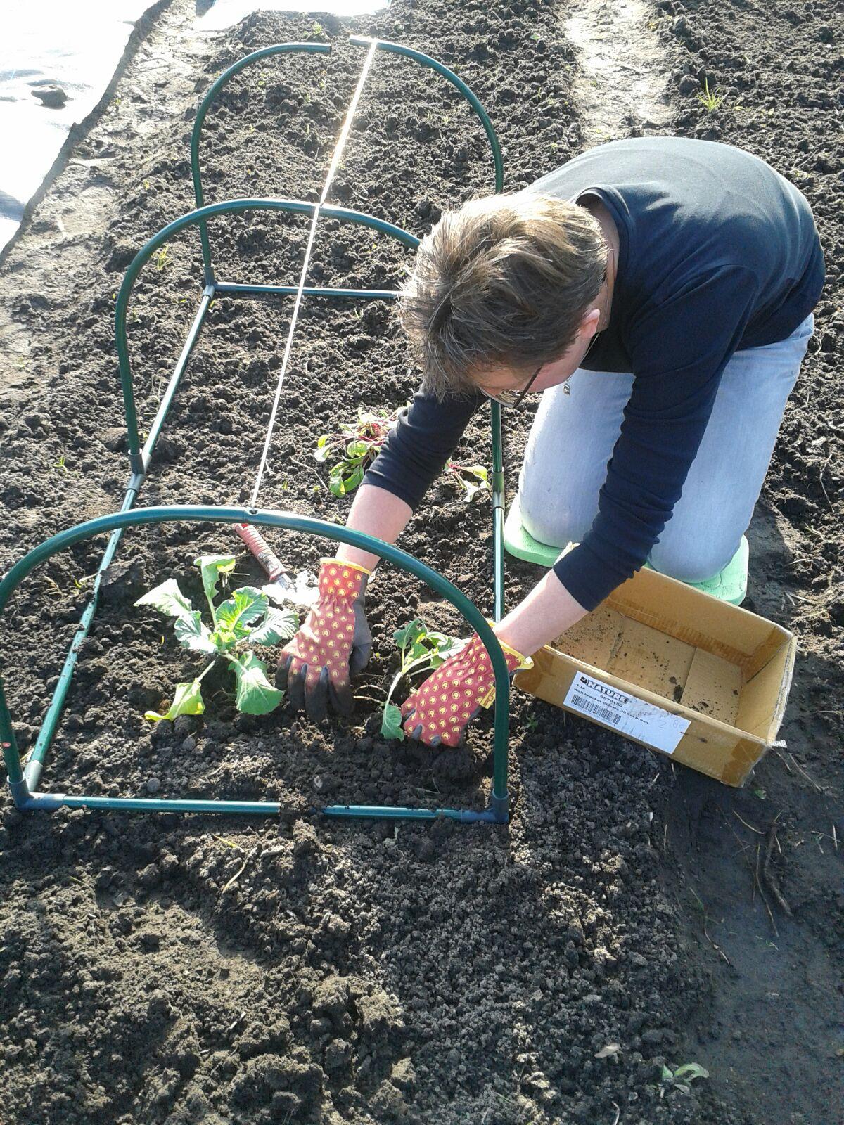 bloemkool planten
