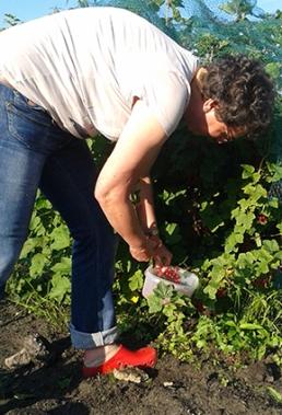 oogst bessen
