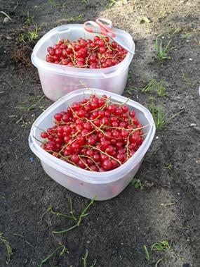 oogst bessen2