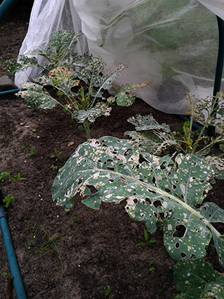 broccoli aangevreten2