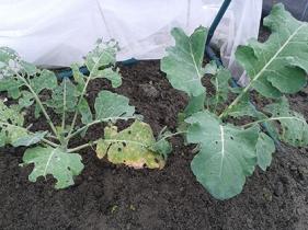 broccoli groeit