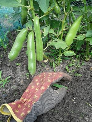 tuinbonen aan plant