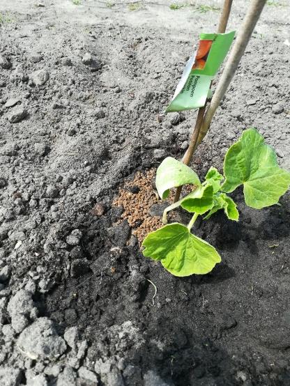 Een pompoenplant met knik