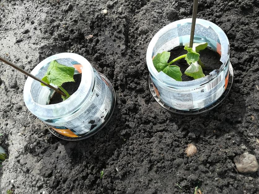 Twee pompoenplanten van Mieke