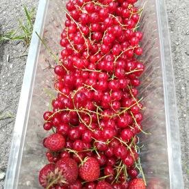 Rode bessen en wat aardbeien