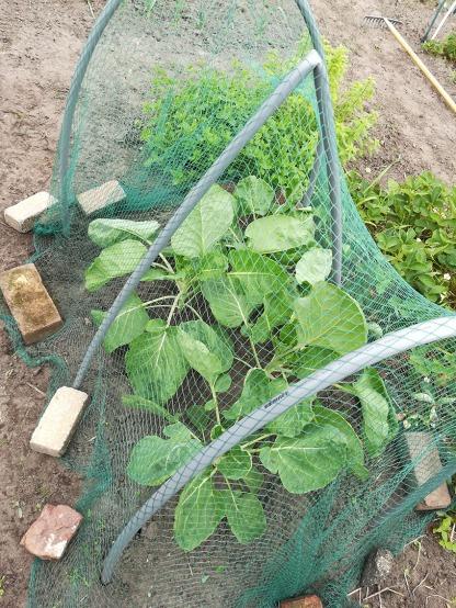 Spruitkoolplanten