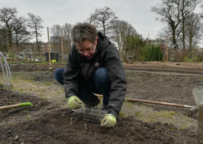 Tuinbonen de grond in