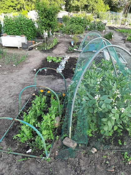 Tuinbonen en peulen