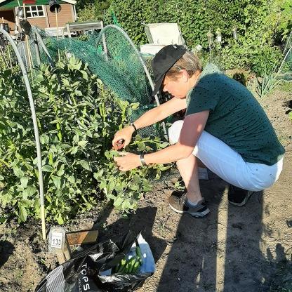 tuinbonen oogsten