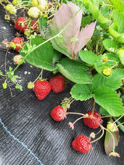 De aardbeien