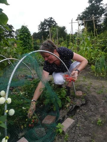 Annemarie plukt aardbeien