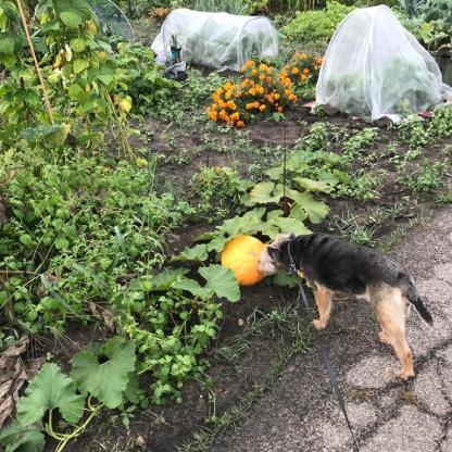 Bonnie inspecteert de pompoen