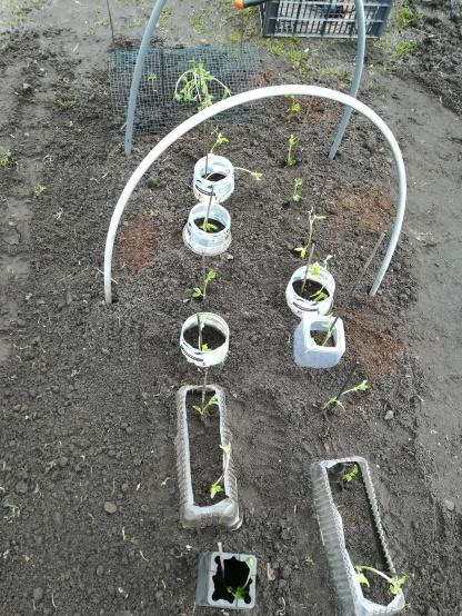 De eerste plantjes de volle grond in